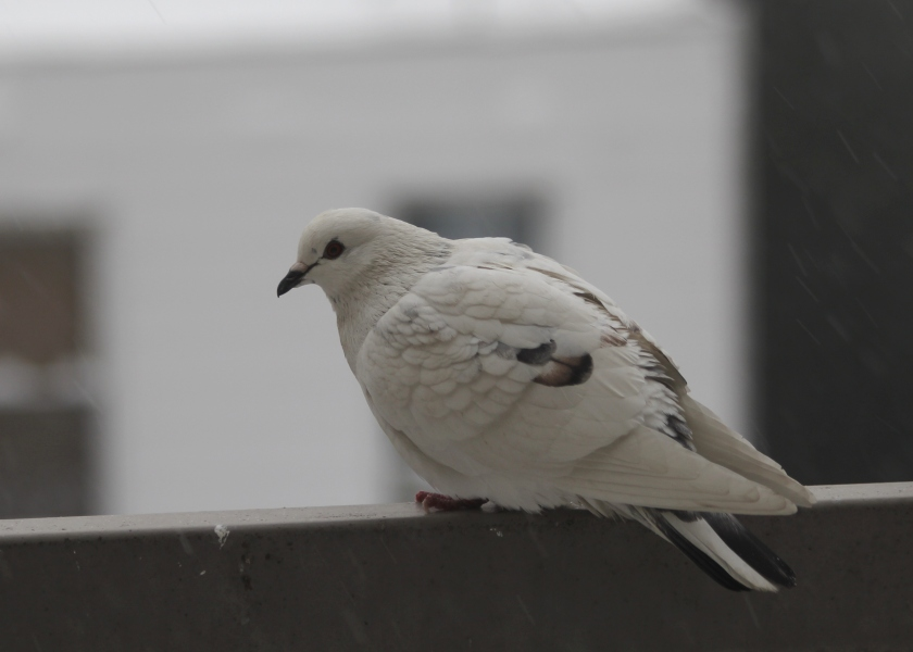 Sarah's favorite pigeon