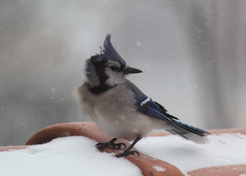 Blue Jay crest blowing in the wind