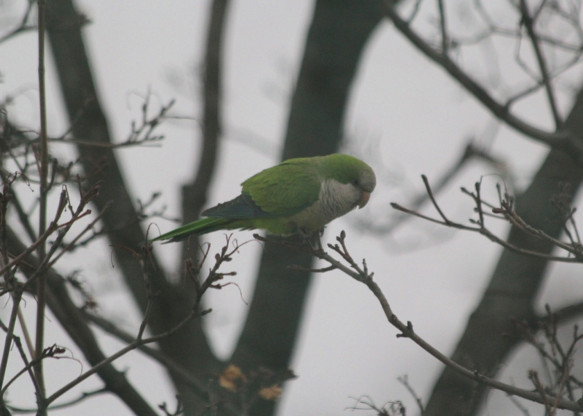 Monk parakeet perched outside our apartment