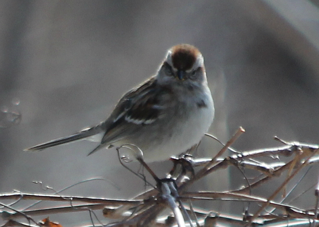 American Tree Sparrow not happy about being photographed