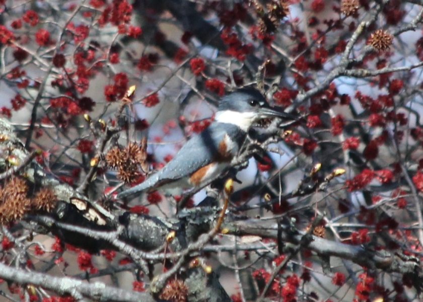 Female Belted Kingfisher