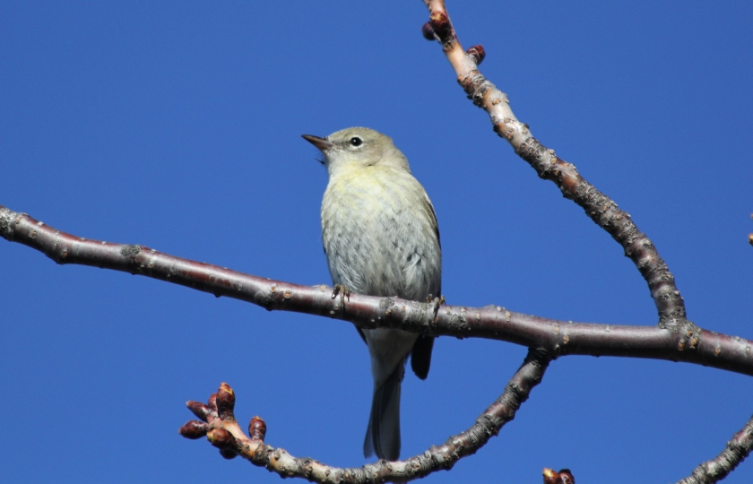 Drab Pine Warbler -likely a first year female