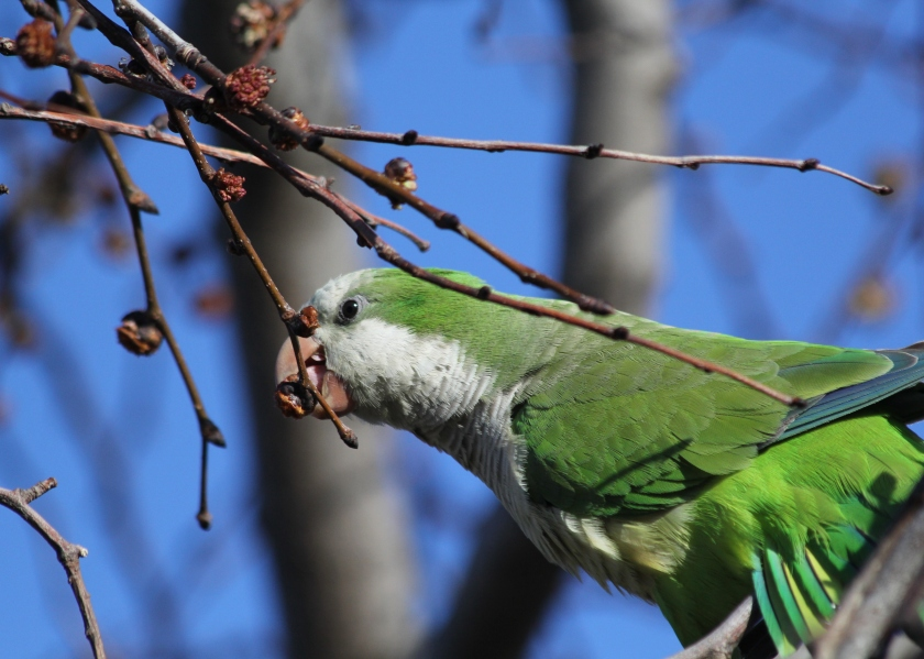 Supper time for the Monk Parakeet