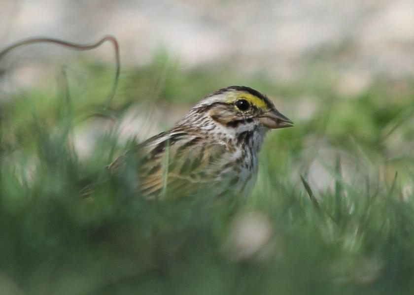 Bonus Bird: A Savannah Sparrow