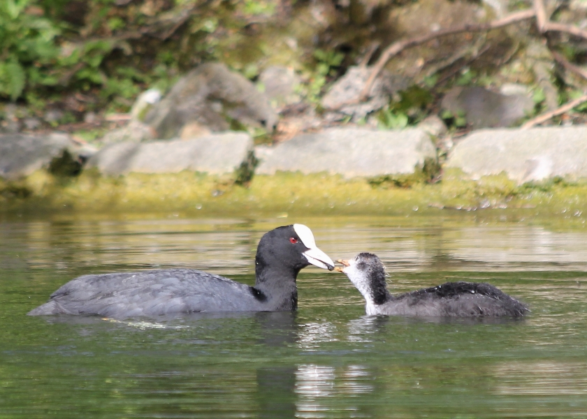 Cootlet getting a snack from mama.