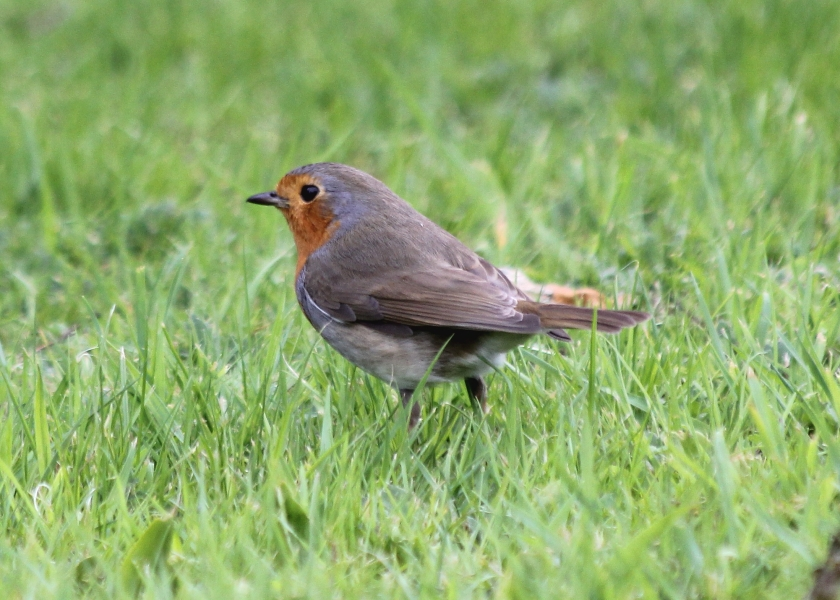 Everything is smaller in Europe, including the robins.