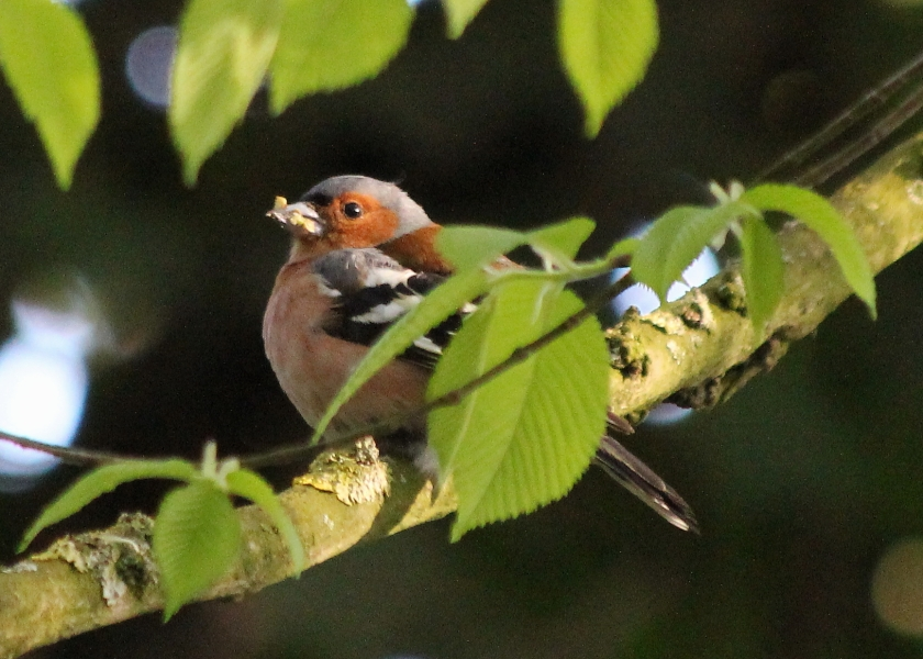 Common Chaffinch with a mouth full of food