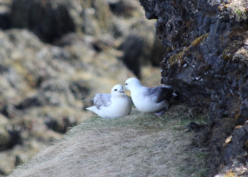 A breeding pair of Northern Fulmar