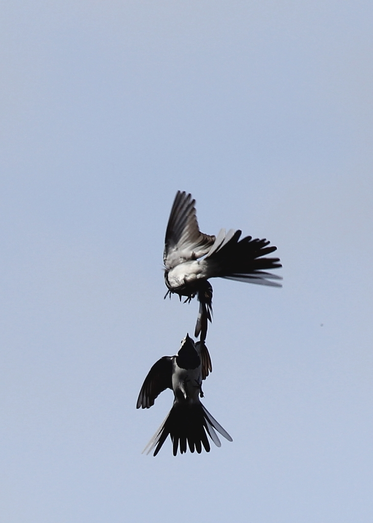 White Wagtail battle