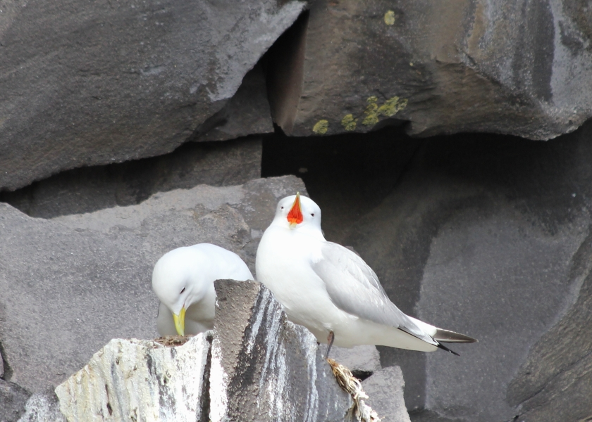 Breeding pair of Black-legged Kittiwake