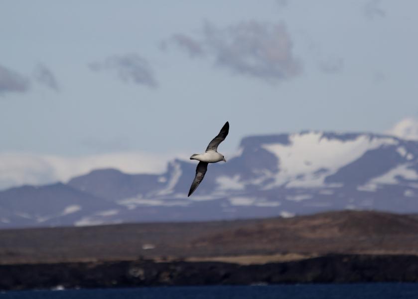 Northern Fulmar at Öndverðarnes