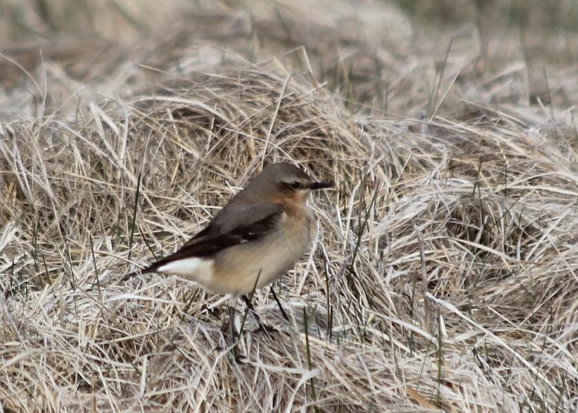 Northern Wheateater