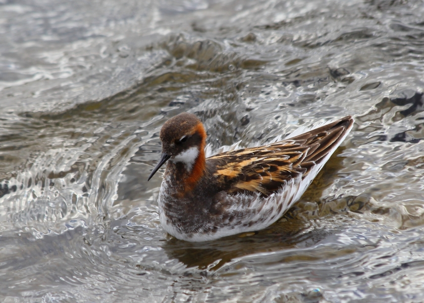 Female Red-necked Phalarope