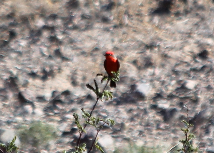 Adult Male Vermillion Flycatcher