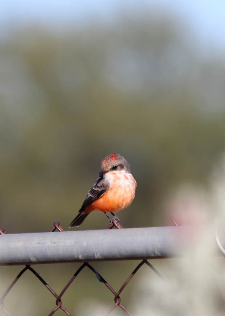 Immature male Vermillion Flycatcher