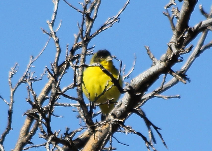 Less Goldfinch