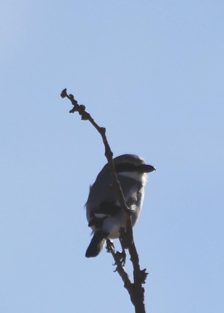 Lagerhead Shrike